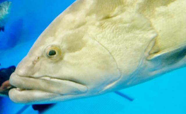 不細工な魚